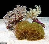 (海水魚 サンゴ)ソフトコーラルグリーンタイプ 3種セット(1セット) 本州・四国限定[生体]