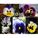 PANSY WINTER FLOWERING - CROWN SERIES MIXED - 150 SEEDS