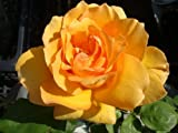 バラ苗 マダムシャルルソバージュ オリジナル角鉢 中苗 木立バラ 四季咲き オレンジ色 強香 バラ 苗 薔薇 バラ苗木