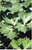 Just Seed - Vegetable - Parsley - Italian Giant - 500 Seeds - Economy Pack