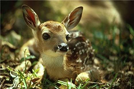 Deer Fawn Glossy Poster