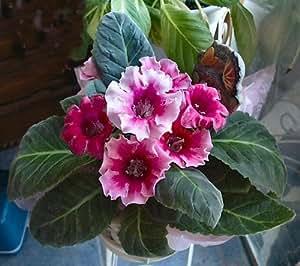 "(HPGX)~Seductive~""MIXED GLOXINIA""~Seeds!!~~~~~~Velvet Beauties~~~~~Abundance of Colors!"