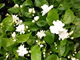 (Jasminum Sambac Zep#459) New Asmine Flower Seeds 50pcs/pack White Jasmine Seeds, Fragrant Plant Arabian Jasmine Seeds