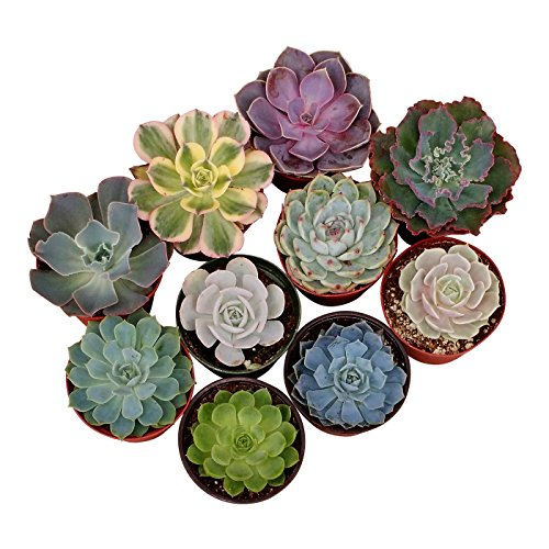 Shop Succulents Rosette Succulent (Collection of 20), 4