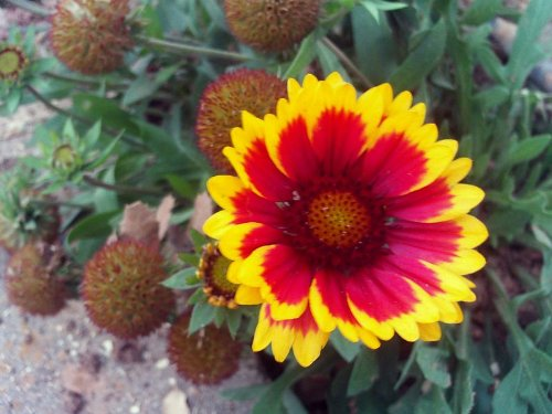 100 ARIZONA SUN GAILLARDIA (Blanket Flower / Indian Blanket) Gaillardia Pulchella Flower Seeds
