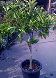 Washington Navel Orange Tree, Five Gallon
