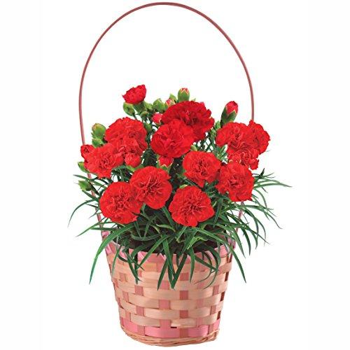 赤カーネーション4号鉢バスケット入 フラワーギフト 花鉢 母の日ギフト