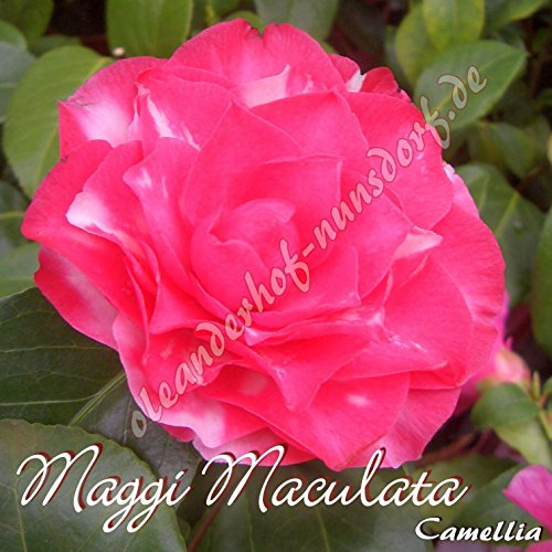 kamelie-maggi-maculata-camellia-preisgruppepreisgruppe-4