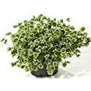 Green Glow Shamrock 4 Leaf Clover -Trifolium - Indoors or Out - 4