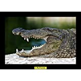 Crocodile 01 Canvas Medium ( 24 In X 17 In )