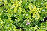Lamium Anne Greenaway plant in 9cm pot. Coloured foliage, hardy perennial