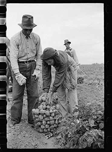 Harvesting potatoes in  Rio Grande County, Colorado, 1939