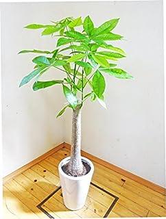 パキラはおすすめの観葉植物