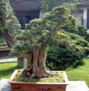 9GreenBox - Japanese Pagoda Tree - 10 Seeds