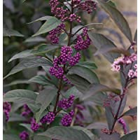 Callicarpa Purple PearlsTM Beautyberry - Shrub/Bonsai - Proven Winner - 1 Qrt Pot