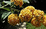 Buddleja Sun Gold Butterfly Bush Shrubs Pack of 3 Supplied in 9cm Pots