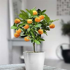 Mini Orange Tree 25cm - 1 tree