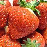 山形県産 新品種 苺(いちご) おとめ心 3kg [業務用、急速冷凍、加工用] ランキングお取り寄せ