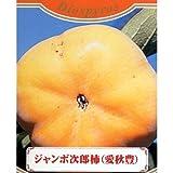 果樹苗 甘柿 ジャンボ次郎柿 1年生苗