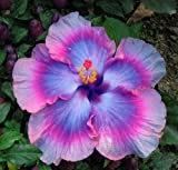 10+ Dinnerplate Hibiscus/ All About Bling/ Perennial Flower Seed/ Easy to Grow/ Huge 10-12 Inch Flowers