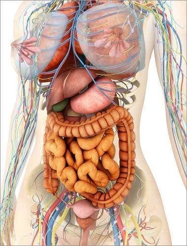 Alu Dibond 60 x 80 cm: Female body showing digestive and circulatory system. von Stocktrek Images / Stocktrek Images