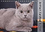 Britisch Kurzhaar Katzen (Tischkalender 2017 DIN A5 quer): Portrait der wundervollen Britisch Kurzhaar Katzen (Monatskalender, 14 Seiten ) (CALVENDO Tiere)