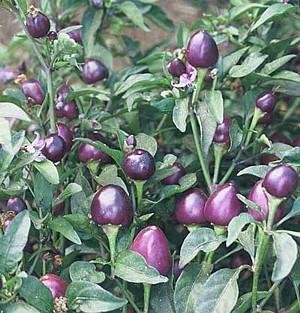 Pretty Purple Very Hot Pepper Seeds