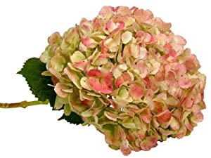 Fresh Flowers - 5 Bicolor Multi Green Jumbo Hydrangea Stems -Wedding Prom Birthday Bouquet & Centerpiece