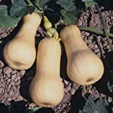 SeeKay Organic Winter Squash 'Waltham Butternut' - 10 seeds