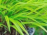 【6か月枯れ保証】【山野草】斑入りフウチソウ 0.1m