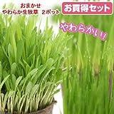 (観葉)猫草 おまかせやわらか生牧草 直径8cmECOポット植え(無農薬)(2ポット) 猫草 本州・四国限定[生体]