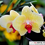 100pcs Butterfly Orchid Seeds Phalaenopsis Orchids Seed Flower Beautiful Garden Bonsai Plant DIY Home & Garden