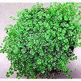 """Hirt's Baby Tears Plant - 4"""" Pot - Helxine - Great Indoor Plant ~ Hirt's Gardens"""