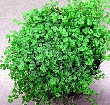 Buy Baby Tears Plant – 4″ Pot – Helxine -Great Indoor Plant