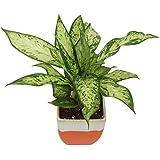 Exotic Green Indoor Plant Dieffenbachia Star Bright In My Orange Ceramic Pot