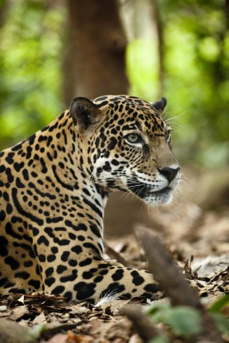 Captive Jaguar At Las Pumas Rescue Shelter Wall Decal - 52 Inches H X 35 Inches W - Peel And Stick Removable Graphic front-795374