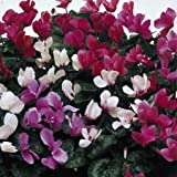 Suttons Seeds 111893 Cyclamen Sweet Scented Mix Seed