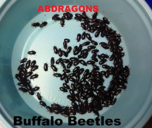 black-cleaner-beetles-aka-buffalo-beetles-for-dubia-roaches-aprox-qty-200-5-grams