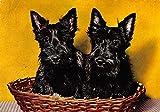 Scotty Dogs in Basket Scottish Terrier Vintage Postcard J57192