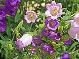 【春の花】カンパニュラ 9.0cmポット 120本セット 送料無料 【即日発送対応】