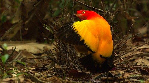 ワイルドライフ 幻の鳥 炎の舞に迫る ニューギニア島 [Blu-ray]