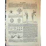 Usines de Canna de Fleur de Fraise de Lactea de Crassula de Fleur du Jardin 1878