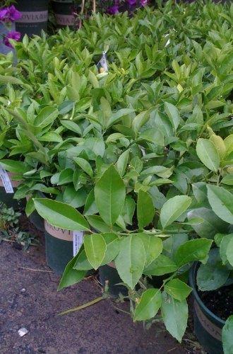 Meyer Lemon Tree One Gallon by Monrovia Growers