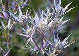 Eryngium bourgatii 'Picos Blue' (Blue eryngo) 3 ltr pot