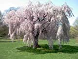Beautiful Weeping Cherry Tree Live Plant