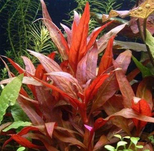 Alternanthera-rosaefolia-live-aquarium-plant