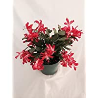 Hirt's Red Christmas Cactus Plant - Zygocactus - 6