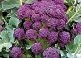 Hazzard's Seeds Broccoli Early Purple Sprouting 5,000 seeds