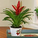 Vriesea Red - 2 plants