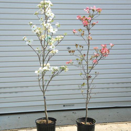 植えた直後から我が家のシンボルに!庭木:アメリカ花水木 特大!! 赤花or白花 樹高:約120cm (赤花)